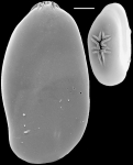 Astacolus crepidulus New Zealand