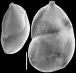 Neolenticulina variabilis New Zealand