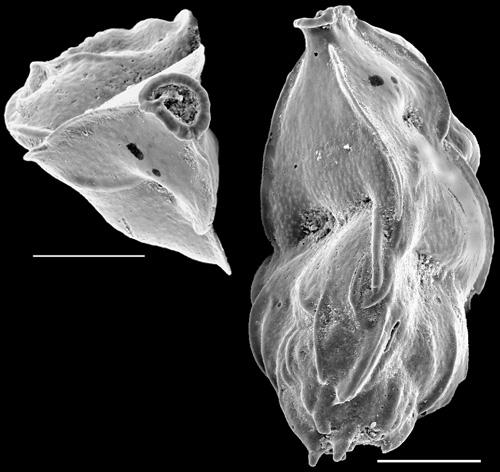 Trifarina angulosa New Zealand