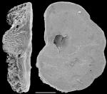 Bronnimannia disparalis New Zealand
