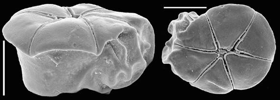 Conorbella clarionensis New Zealand
