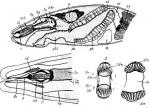 Karkinorhynchus primitivus