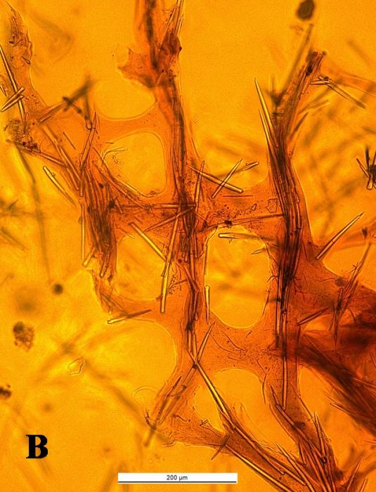 Desmacidon arciferum cross section of skeleton