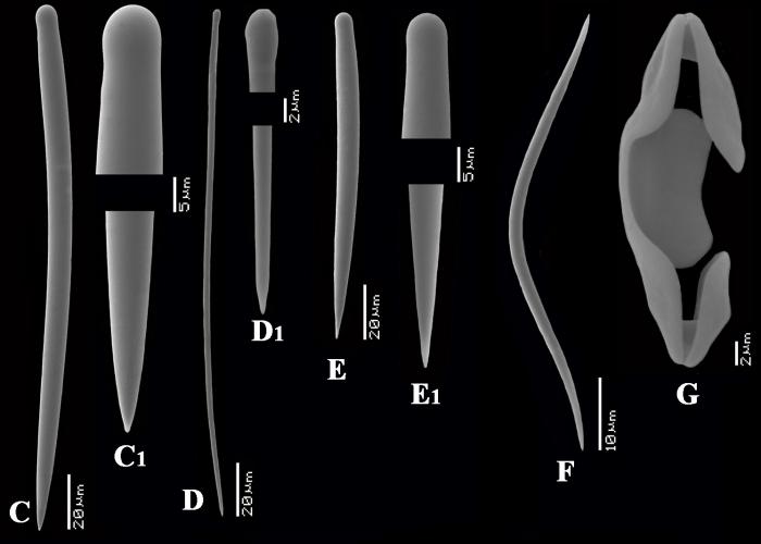 Desmacidon arciferum spicules
