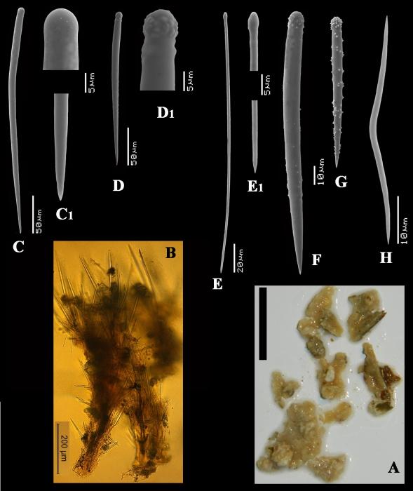 Clathria (Microciona) boavistae