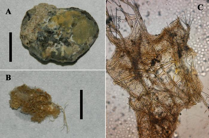 Clathria (Microciona) calloides habit and skeleton