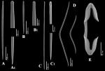 Clathria (Microciona) calloides spicules
