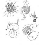 Messoplana elegans