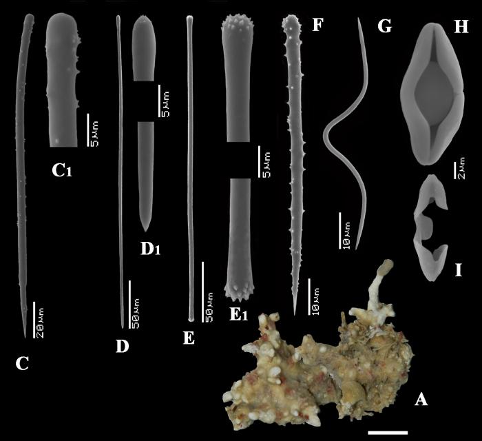 Clathria (Microciona) cancapseptima habit and spicules