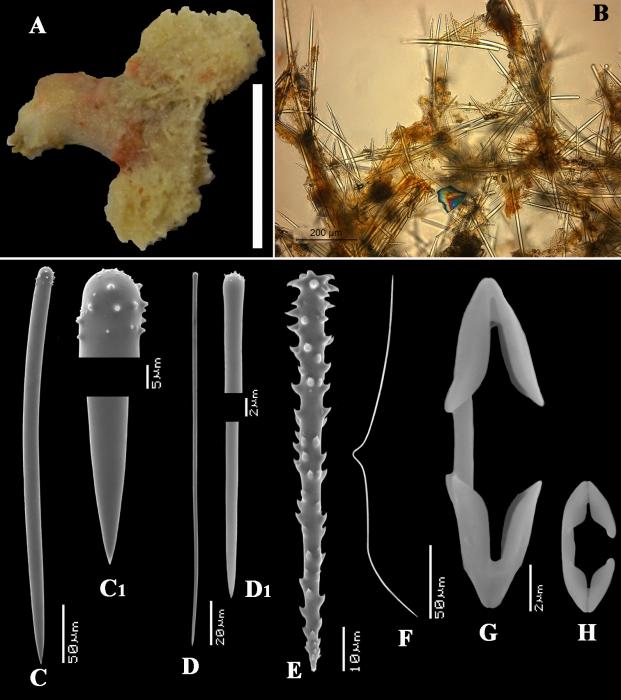 Clathria (Microciona) capverdensis holotype
