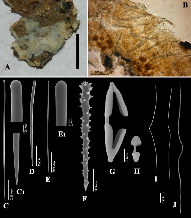 Clathria (Microciona) gorgadensis holotype