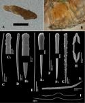 Clathria (Thalysias) minutoides holotype