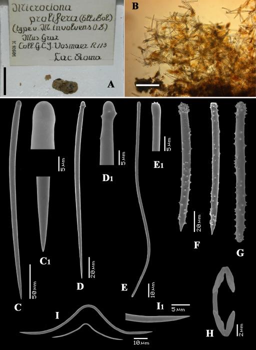 Myxilla involvens RMNH Vosmaer material