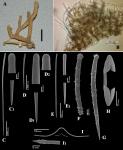 Plocamia coriacea var. elegans holotype