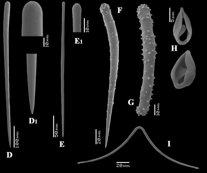 Antho (Acarnia) signata spicules