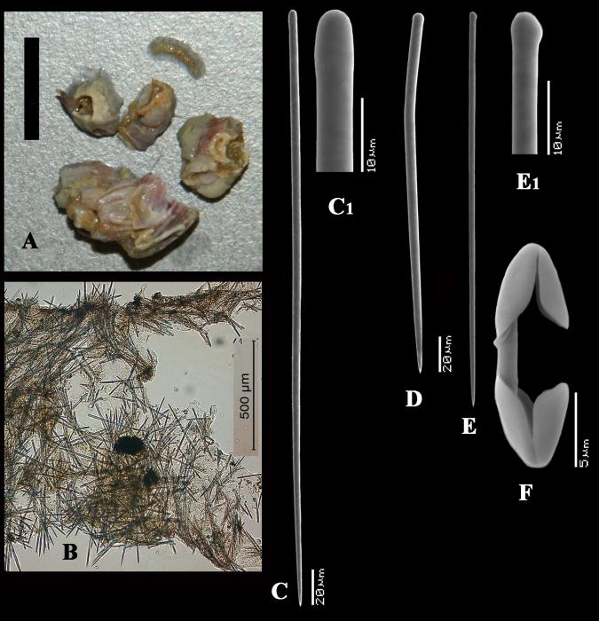 Artemisina incrustans holotype