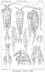 Centropages hamatus from Sars, G.O. 1902