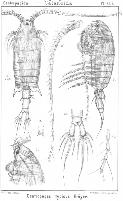 Centropages typicus from Sars, G.O. 1902
