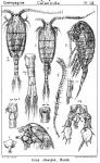 Isias clavipes from Sars, G.O. 1902