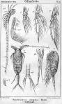 Pseudocalanus elongatus from Sars, G.O. 1901
