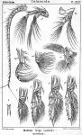 Metridia longa from Sars, G.O. 1902