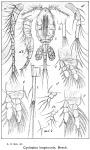Cyclopina longicornis from Sars, G.O. 1913