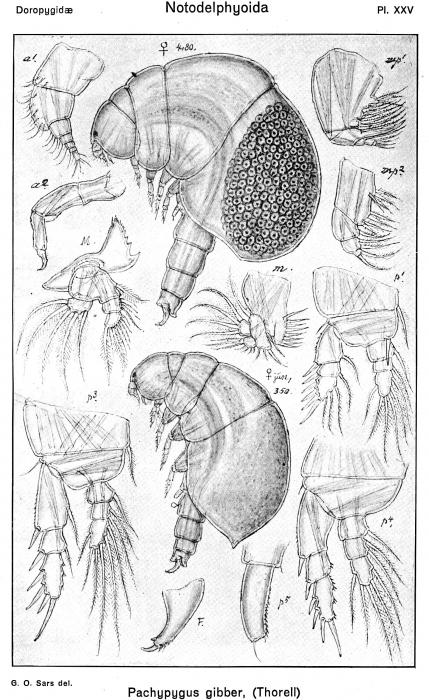 Pachypygus gibber from Sars, G.O. 1921