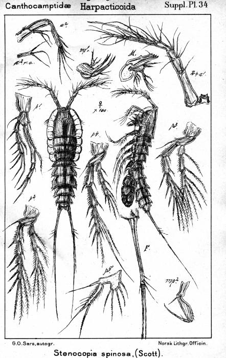 Stenocopia spinosa from Sars, G.O. 1911