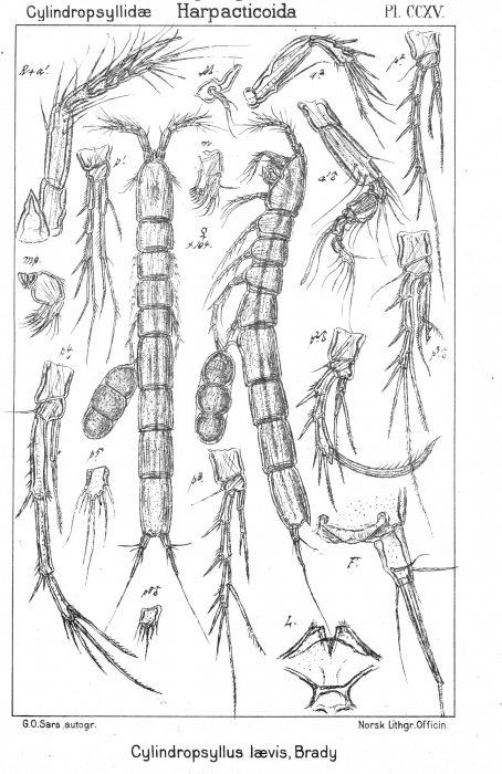Cylindropsyllus laevis from Sars, G.O. 1909
