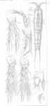 Amphiascus amblyops from Sars, G.O. 1911