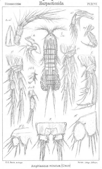 Amphiascus minutus from Sars, G.O. 1906
