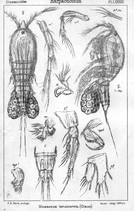 Diosaccus tenuicornis from Sars, G.O. 1906