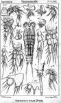 Robertsonia tenuis from Sars, G.O. 1909
