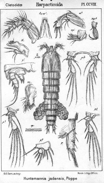 Huntemannia jadensis from Sars, G.O. 1909