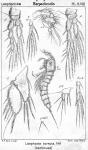Laophonte cornuta from Sars, G.O. 1907