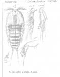 Amenophia pultata from Sars, G.O. 1906
