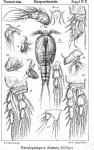 Dactylopodopsis dilatata from Sars, G.O. 1911