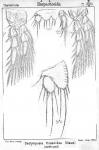 Dactylopusia tisboides from Sars, G.O. 1905