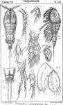 Thalestris rufoviolascens from Sars, G.O. 1905