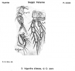 Idyanthe dilatata from Sars, G.O. 1901