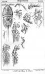 Idyella pallidula from Sars, G.O. 1905