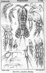 Stenhelia palustris from Sars, G.O. 1906