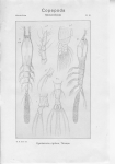 Cymbasoma rigidum from Sars, G.O. 1921
