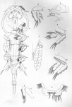 Pseudoeucanthus alosae from Brian, A 1906