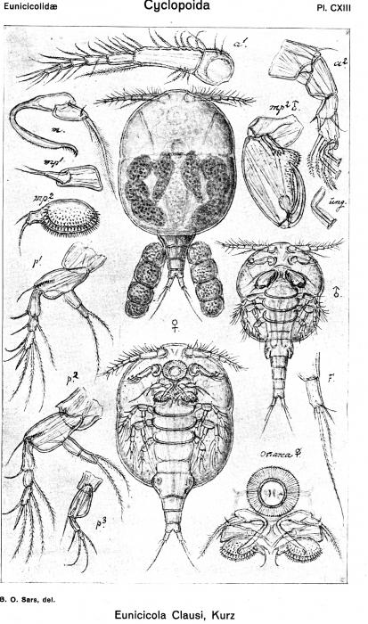 Eunicicola clausi from Sars, G.O. 1918