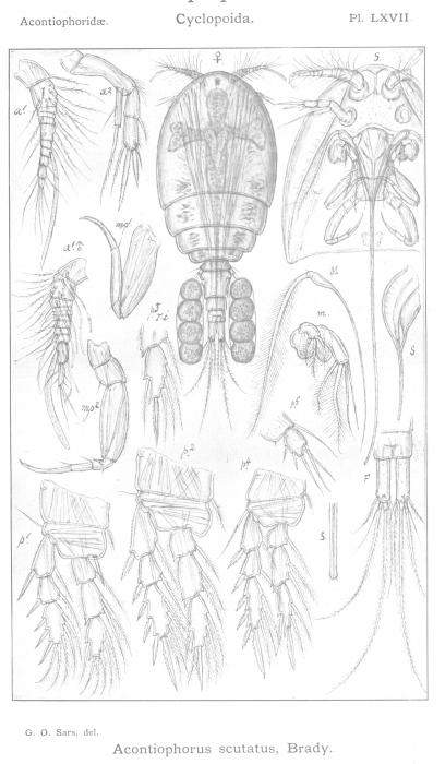 Acontiophorus scutatus from Sars, G.O. 1915