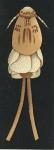 Anthosoma crassum from Brian, A 1906