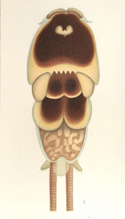 Pandarus bicolor from Brian, A 1906