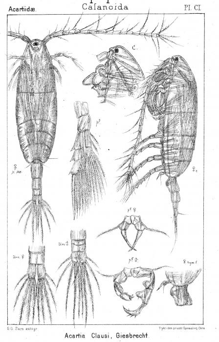 Acartia clausi from Sars, G.O. 1903