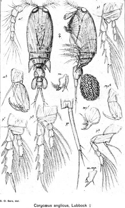 Corycaeus anglicus from Sars, G.O. 1918